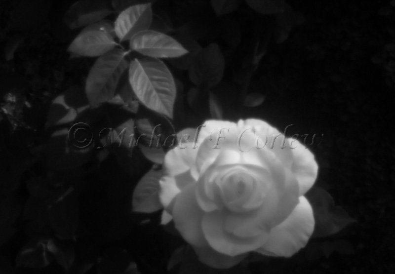 Yellow Rose (Pinhole Lens) 3109