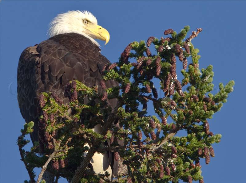 Bald Eagle 87