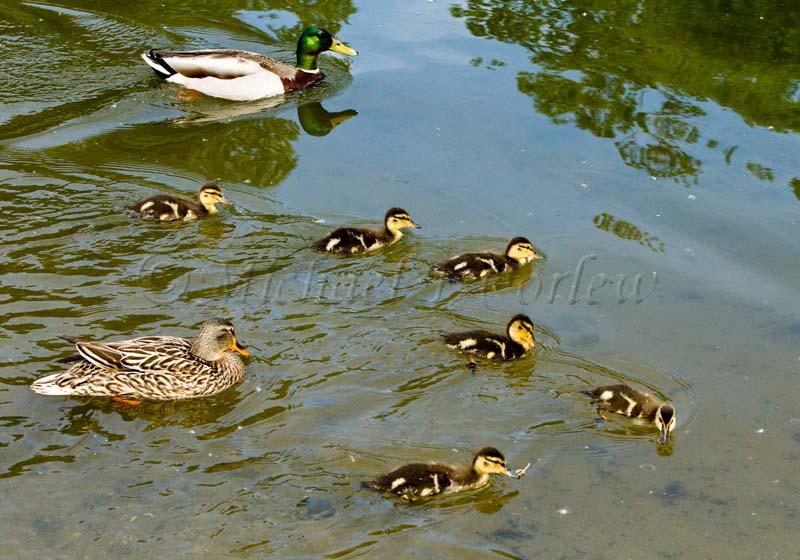 Mallard Family 3294