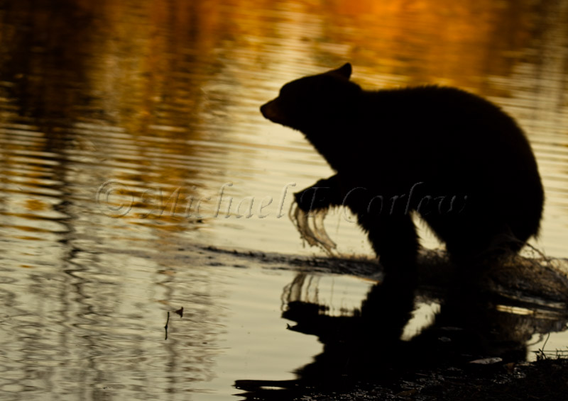 Black Bear Taylor Creek 175