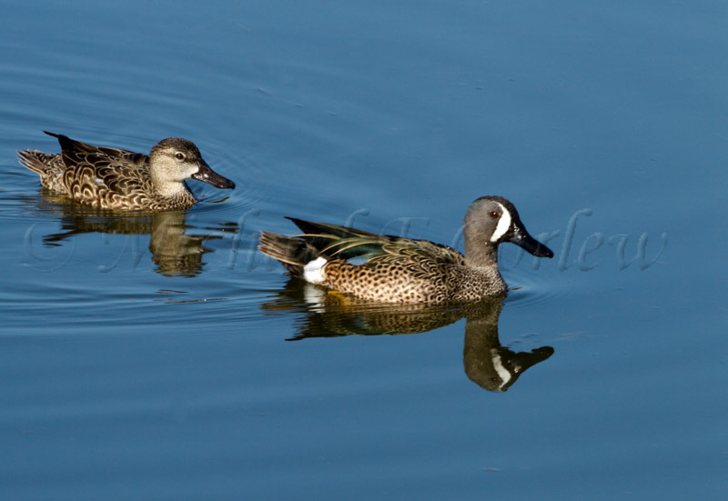 Blue Winged Teal 55