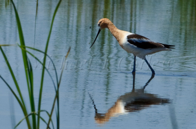 American Avocet (Breeding Plumage) 47