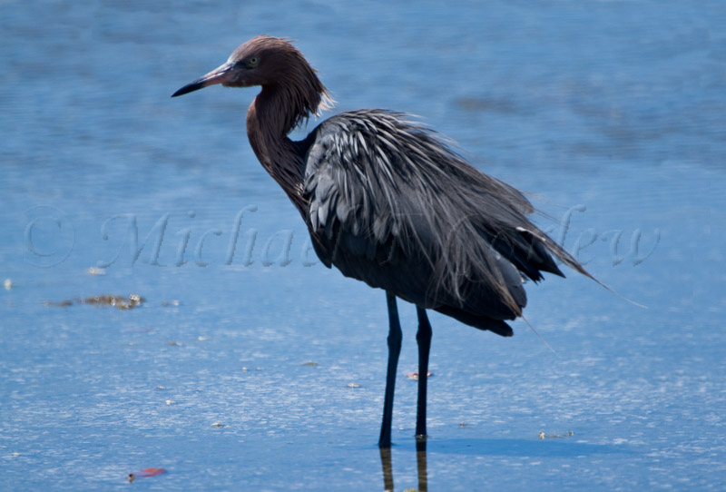 Reddish Egret (Breeding Plumage) 89