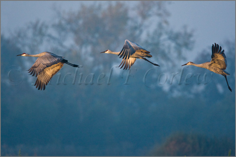 Sunrise Flight (Sandhill Cranes) 29