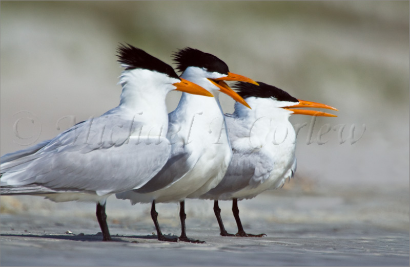Royal Tern 7-1b
