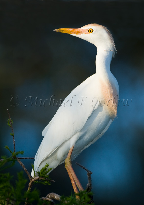 Cattle Egret (Breeding Plumage) 46