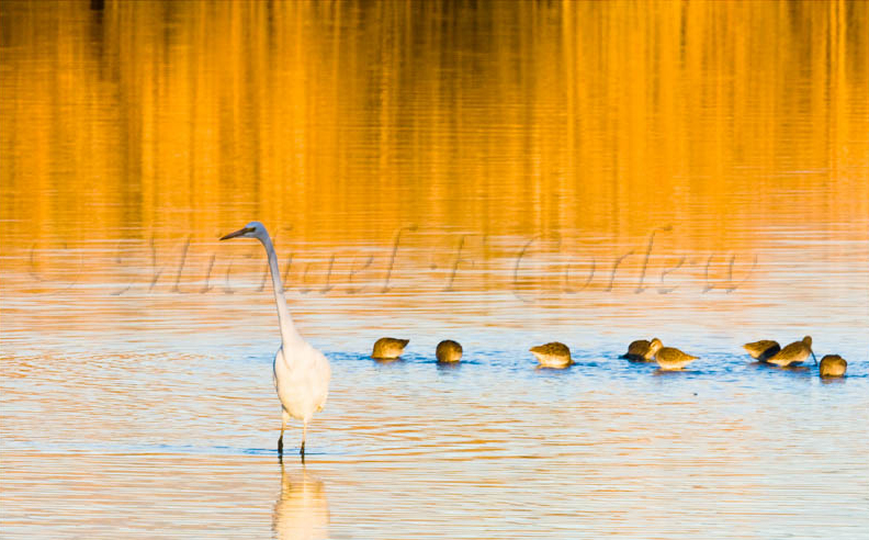 Great Egret and Friends 2