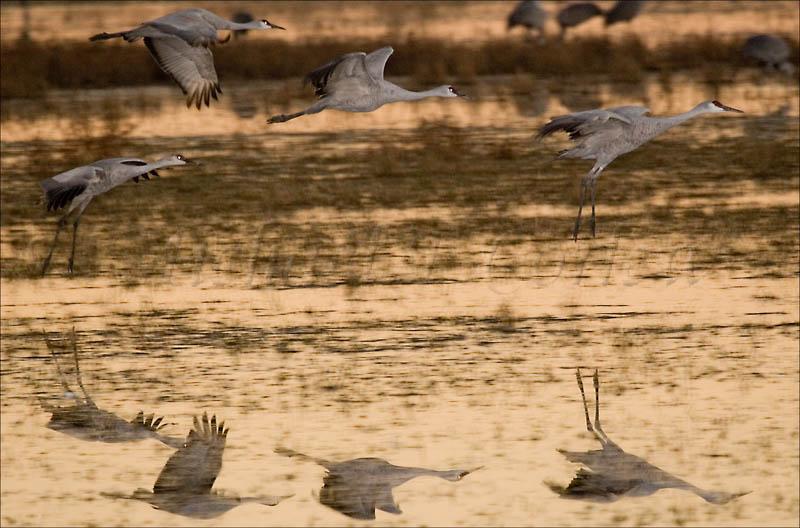 Formation Landing (Sandhill Cranes) 36
