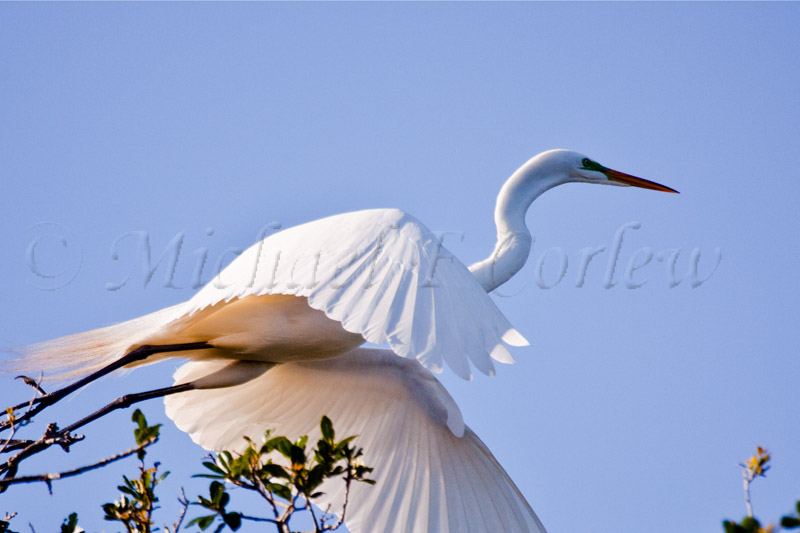 Great Egret 48