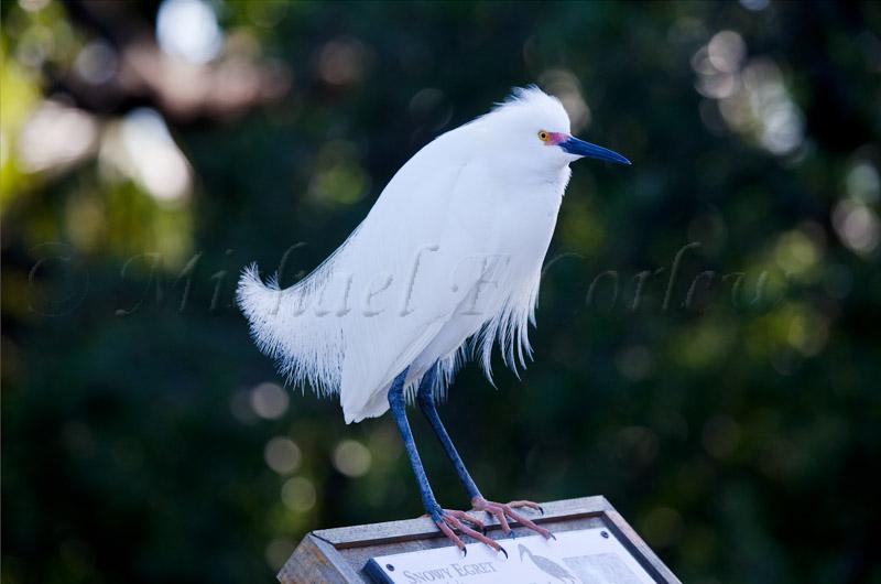 Snowy Egret 51