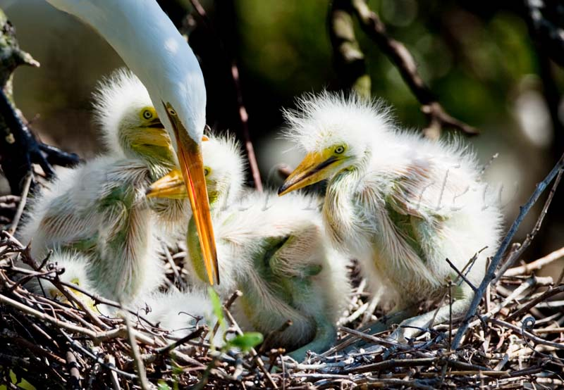 Great Egret w chicks 58