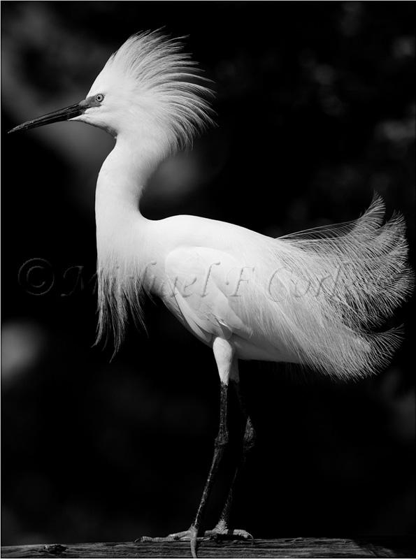 Snowy Egret 45