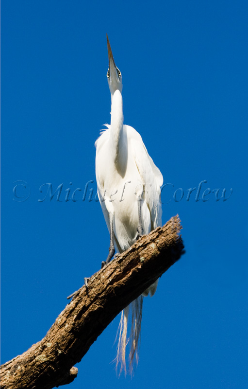 Great Egret (Breeding Plumage) 3