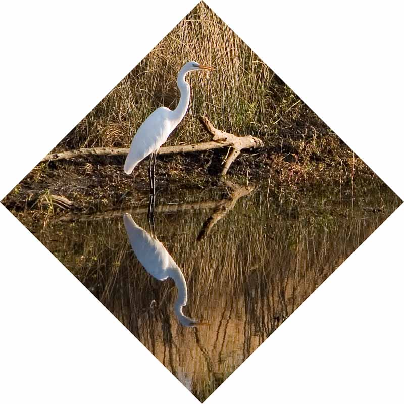 Great Egret 71
