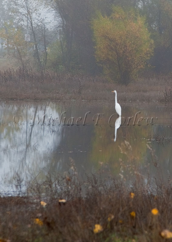 Great Egret 56