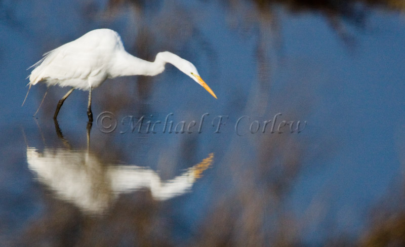 Great Egret Reflection 578