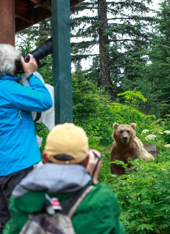 Just Visiting (Coastal Brown Bear) 63