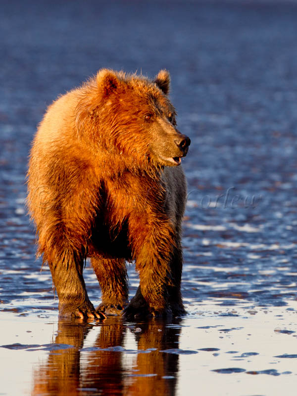 Sunrise Bear (Coastal Brown Bear) 50
